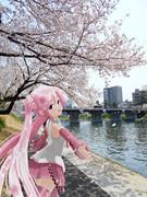 【ミクさんと】乙川の河津桜②【愛知県】