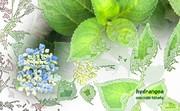 「紫陽花」※写真加工・線画・彩・おむ08994