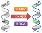 DNA修復機構