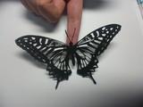 蝶を切り絵にしてみた