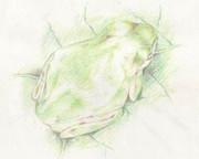 【色鉛筆画】アマガエル