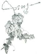 伊藤若冲『葡萄図襖絵』の一部の模写