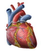 【医学】心臓