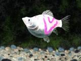 ハートマークバルーンベリフェラっていう熱帯魚