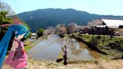 【ミクさんと】 三多気の桜 【三重県】