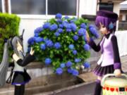 紫陽花(其の弐)