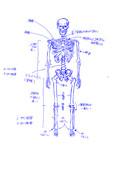 骨格(模写)