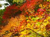 大沼の紅葉 「華」