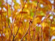 大沼の紅葉 「赤枝」