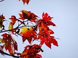 大沼の紅葉 「蒼空に紅く」