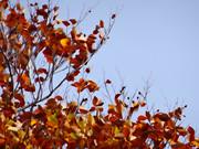 大沼の紅葉 「落ちぬ枯葉の集い」