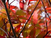 大沼の紅葉 「赤葉と枝と」