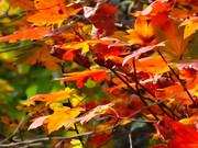 大沼の紅葉 「紅葉平面」