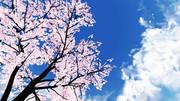 【MMD】カツオ、桜が咲いたよ 散歩に行かんか?