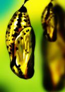 オオゴマダラ(蛹)