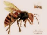オオススズメバチ
