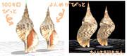 MMD用アクセサリ法螺貝