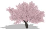 桜の木(太)