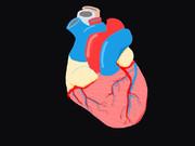 Human heart 心臓