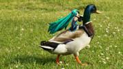 ちっちゃいミクと鴨。③