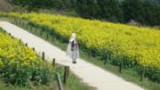 山姥切国広と菜の花畑