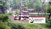 chengdu panda base tour|travel guide|agent