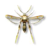ハチに擬態した新種のガ