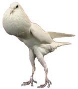 すごい鳩胸の鳩くん