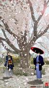 春は過ぎ、桜舞い散る。