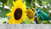 ちっちゃいミクと向日葵。 (同題名は二度目)