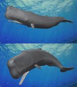 【MMD】マッコウクジラ【モデル配布】