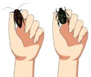 好きなあの娘を虫好きにできる画像(ゴキブリ、カナブン)