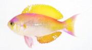 お題:シキシマハナダイ #魚類版深夜の真剣お絵描き60分一本勝負