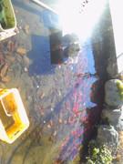 金魚、鯉、ふなたち