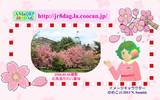 JR8DAGのAM & QRP ホームページの壁紙(桜2018)