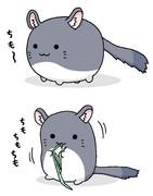 チモシーを食べるすくすくチンチラ