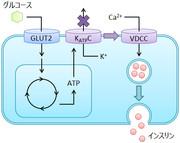 インスリンの分泌機構