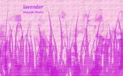 ラベンダー ※pop・おむ08013