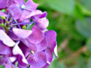 紫陽花(フォトショップ)