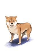 メンタルの強い柴犬