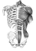 体幹解剖図