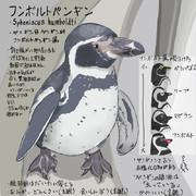 どうぶつ図鑑 フンボルトペンギン