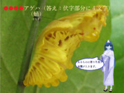 【冬休み企画クイズ・マイナー昆虫列伝-その4】お菊虫(おきくむし)
