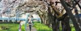 ミクさん今年の桜はどうですか?