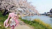 【ミクさんと】 乙川の河津桜 【愛知県】