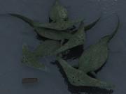 近所の用水路にディプロカウルス