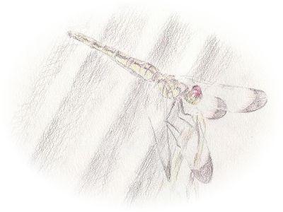 【色鉛筆画】蜻蛉(トンボ)