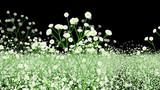 花畑のかすみ草、少し高解像度画像置いときます