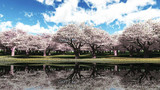 【MMDステージ配布】満開の桜 V7【スカイドーム】