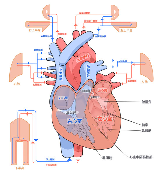 ヒト心臓血流解説図